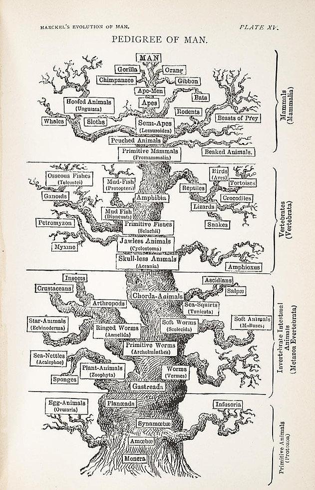 Haeckel-pedigree-of-man.jpg