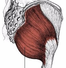 腰痛に関係する筋肉⑦大殿筋