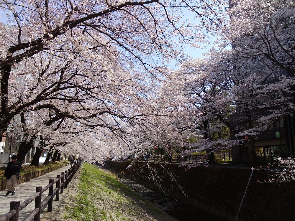 多摩市多摩センターの整体院身体均整堂からだやの桜