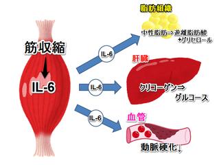 マイオカイン(筋肉が分泌するホルモン)