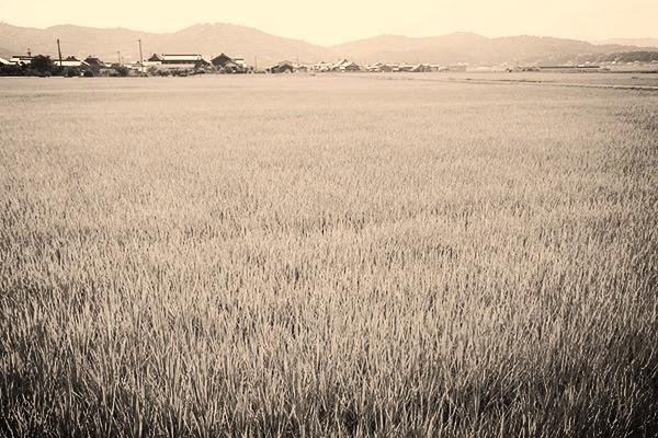 多摩市多摩センターの整体院からだやの田んぼ写真