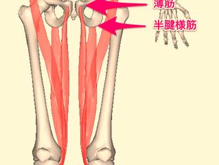 膝痛に関係する筋肉③鵞足を形成する筋肉