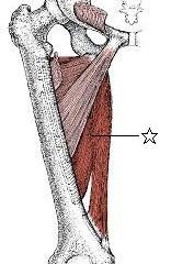 膝痛に関係する筋肉⑤内転筋