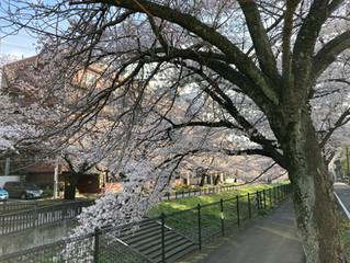 乞田川沿いの桜が満開になりました