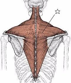 肩こりや腰痛に対し、多摩市多摩センターのばしてほぐす整体を使う整体院身体均整堂からだやの僧帽筋の図