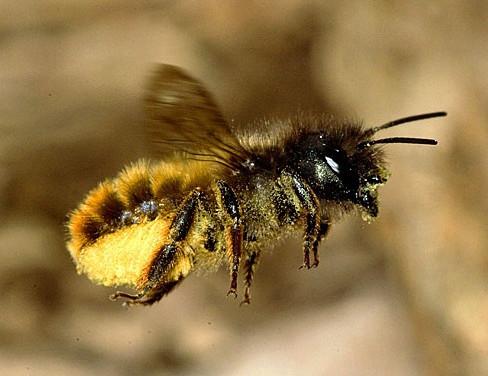 Osmia-bicornis-pollen-flight_edited.jpg