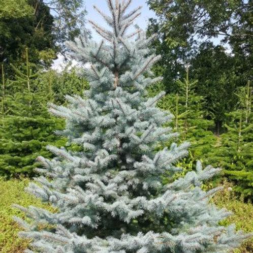 Blue Spruce cut Christmas Tree