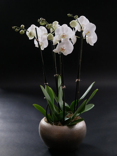 Two double-stemmed white Phalaenopsis orchid plants in a contemporary ceramic planter.