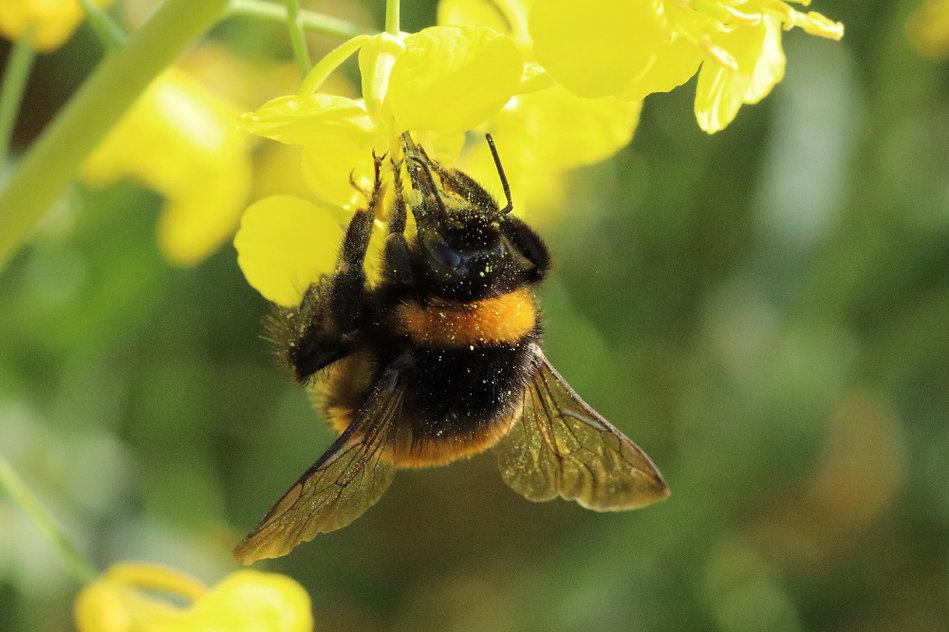 Buff-tailed bumblebee credit David Wyatt