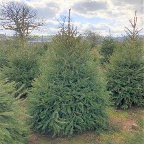 Norway Spruce cut Christmas Tree