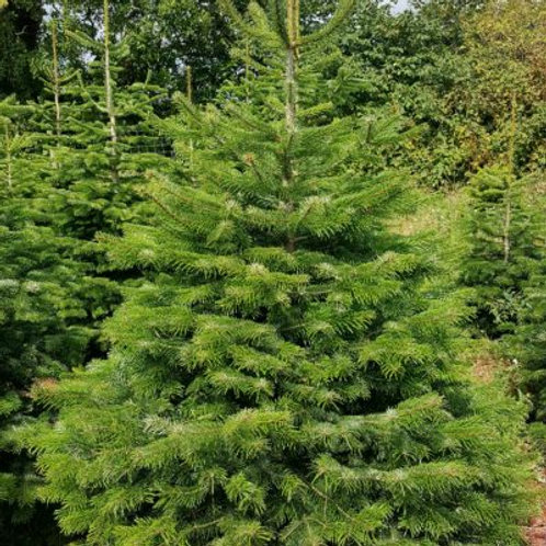 Nordmann Fir cut Christmas Tree