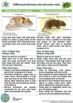 KS2 Water Vole or Rat