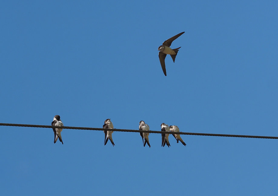 House Martins (scoopsweb)