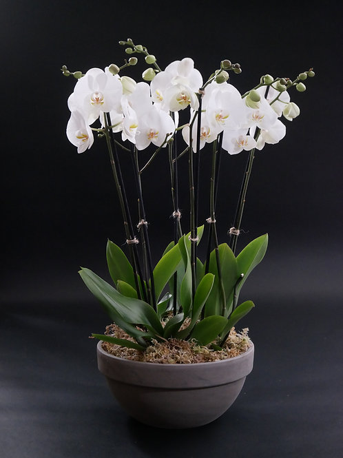 Three double-stemmed White Phalaenopsis Orchid