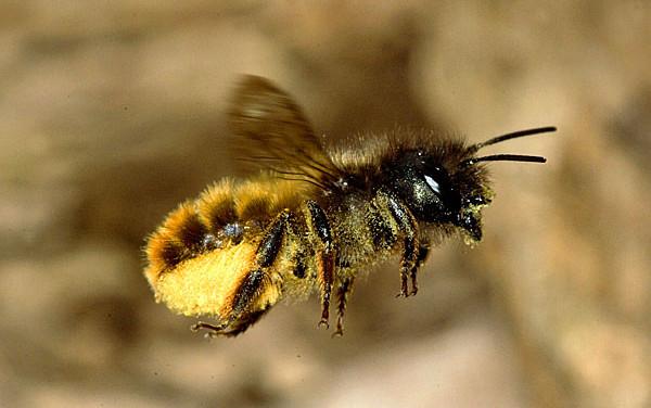 Osmia-bicornis-pollen-flight.jpg