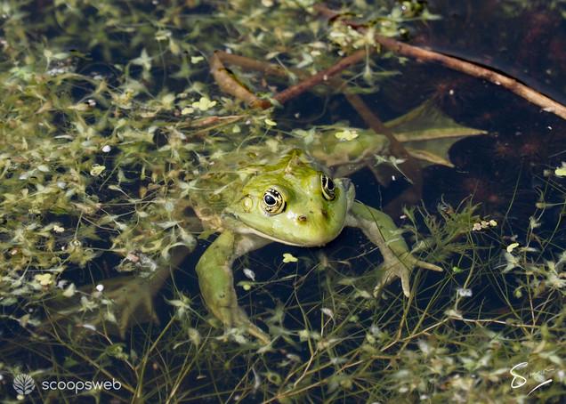 Marsh frog, Railway Land, Lewes