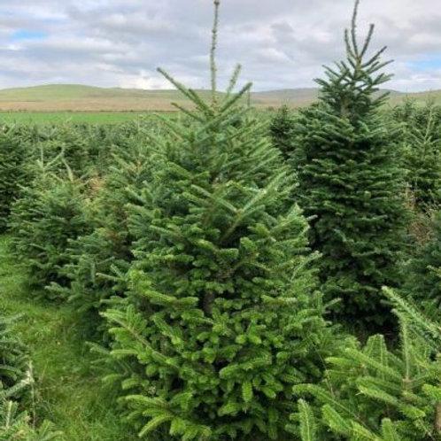 Fraser Fir cut Christmas Tree