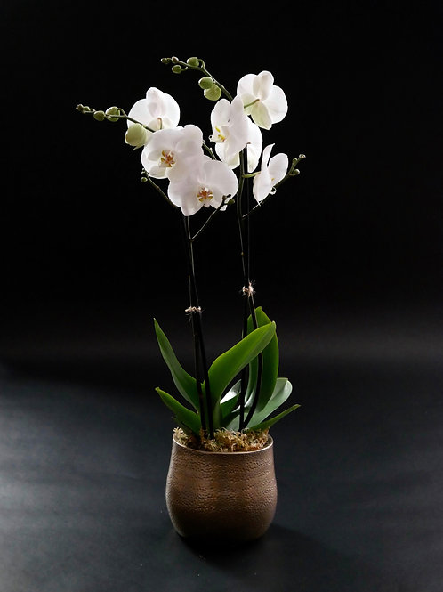 Single double stem white Phanaelopsis orchid in ceramic planter