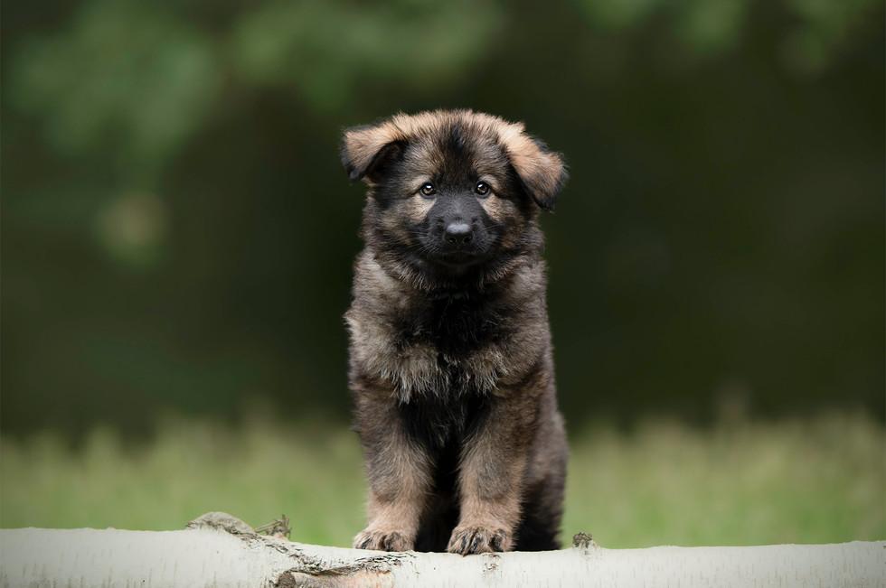 Pup Duitse herder