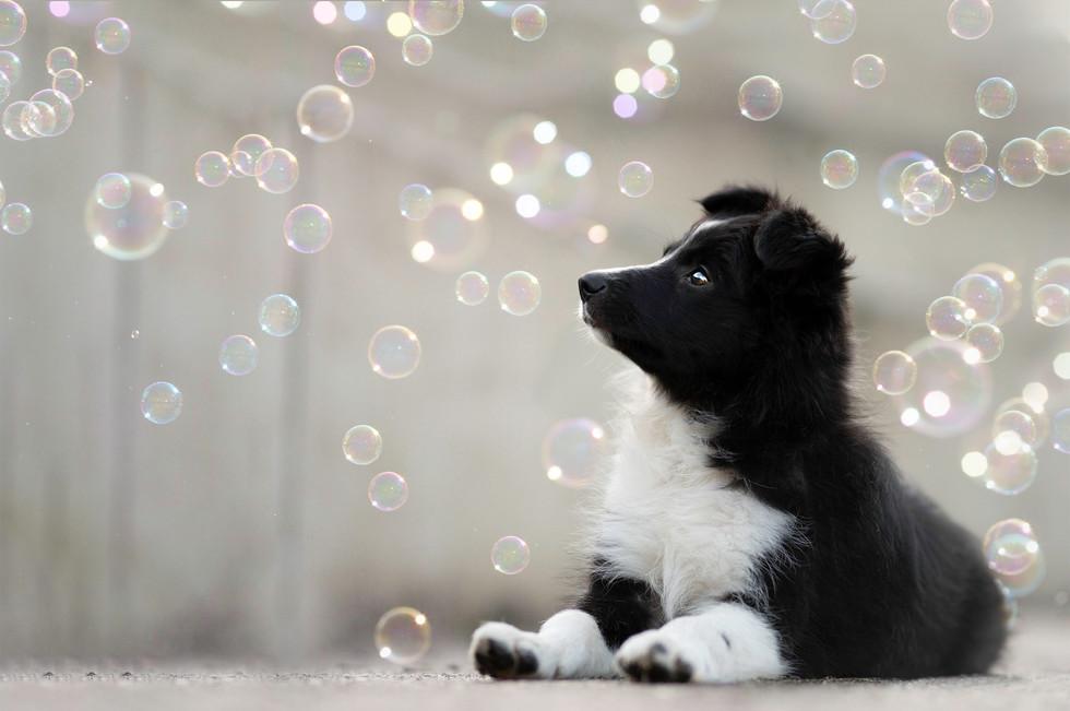 Pup Border collie