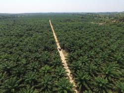 Plantación Palma Africana