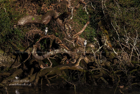 Grey Herons and ducks at the riverside photo and fine art print