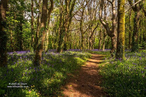 Tehidy Woods bluebells