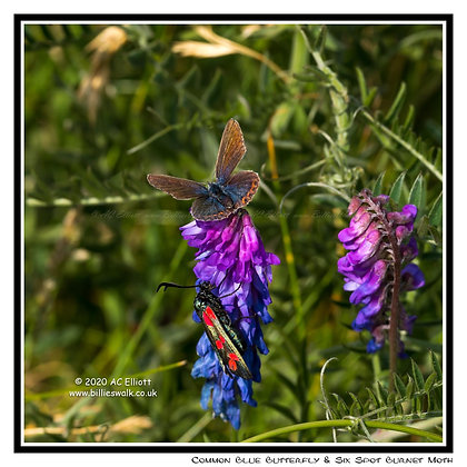 Common Blue Butterfly along the coast at Levant Mine Greeting Card