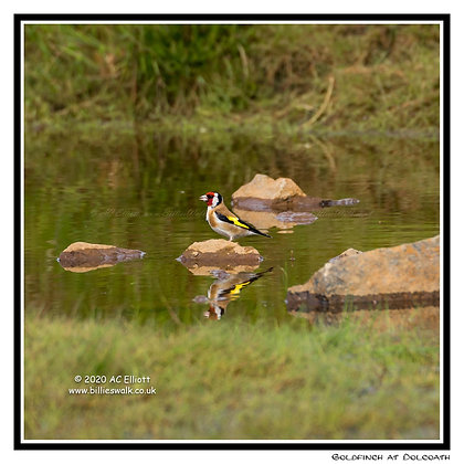 Goldfinch and its reflection at Dolcoath, Camborne Greeting Card