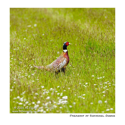 Pheasant at Bofarnel Downs