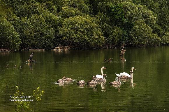 Swans and Cormorants on Argal Reservoir