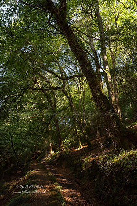 Path through sun dappled wood at Helford photo and fine art print