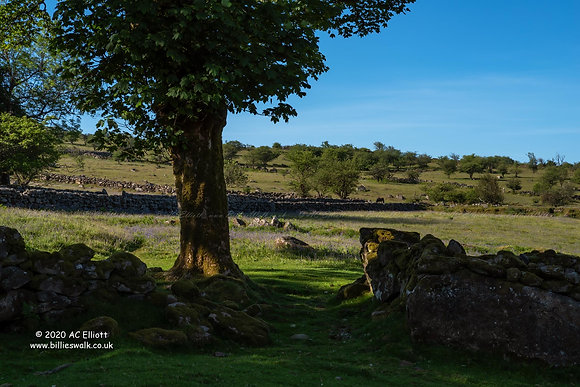 Beautifully bluebell filled Emsworthy Mire on Dartmoor photo and fine art print