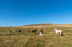 Rough Tor & ponies
