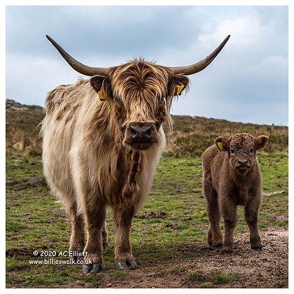 Cornish Highland Cattle