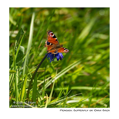 Peacock Butterfly on Carn Brea