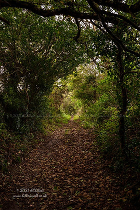An autumnal tree tunnelled path near Perranwell photo and fine art print