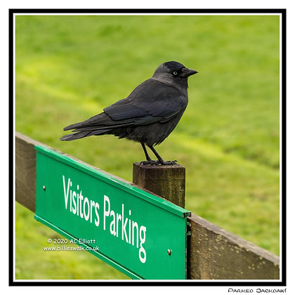 Jackdaw parked on a 'No Parking' sign Greeting Card