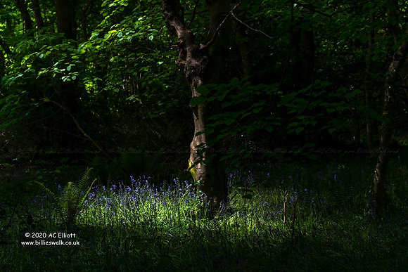 Tehidy Woods light and shade