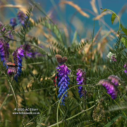 Common Blue Butterfly and Six Spot Burnet Moths at Levant