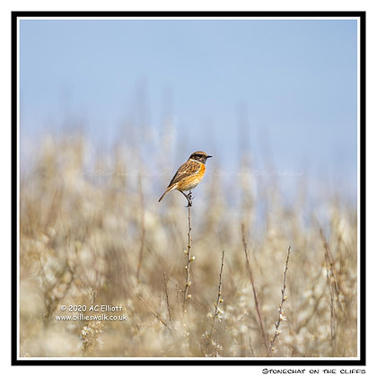 Stonechat on the cliffs