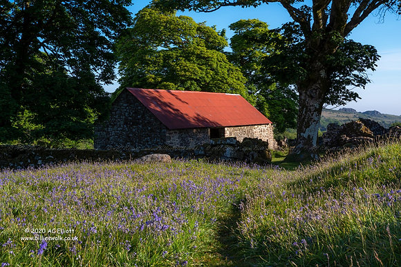 Red roofed barn behind the bluebells at Emsworthy Mire photo and fine art print