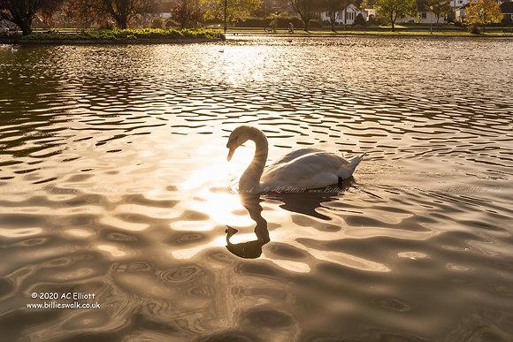 Helston swan