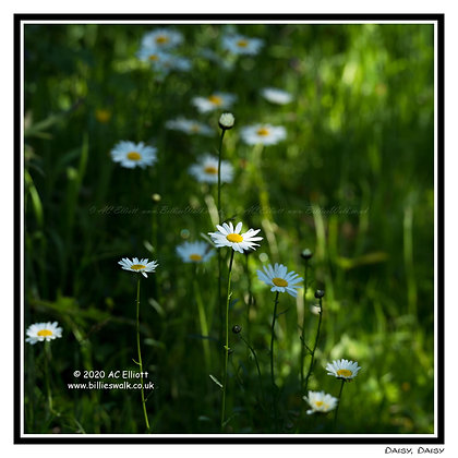 Sun dappled daisies Greeting Card