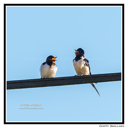 Swallows chatting on a wire Greeting Card