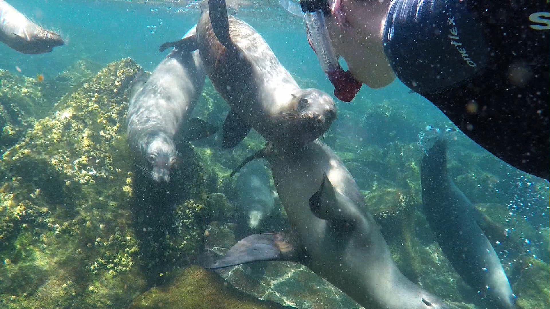 Schnorcheln_mit_Seelöwen_auf_Galapagos.JPG