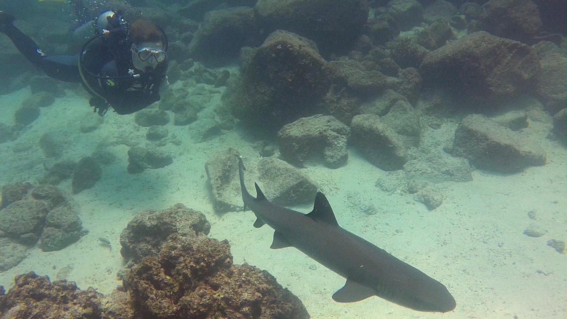 Weißspitzhai_Galapagos.JPG
