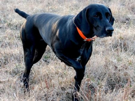 Black dog pointing