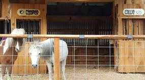 Our Mini Horses Cooper and Callie