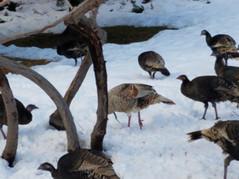 Winter Turkey Visitors